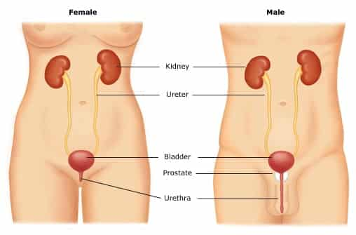 Mengenali sistem saluran kencing
